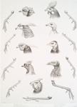 Phasianus Shawl, Thaumlea picta. Euplocamus albo-cristatus, Ithaginus cruentus. Gallus ferrugineus. Agelastes meleagrides, Phasidus niger.  Acryllium vulturum, Numida meleagris.
