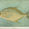 The Pompano, Trachinotus carolinis.