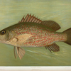 The Mangrove Snapper, Lutjanus griseus.