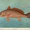 The Red Drum or Channel Bass, Scioena ocellata.