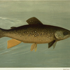 Hybrid Trout -- Cross of the Lake and Brook Trout.
