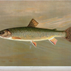 The American Brook Trout, Salvelinus fontinalis.