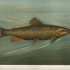 The Brown or German Trout, Salmo fario.