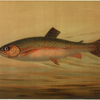 The Rainbow Trout, Salmo irideus.
