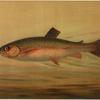 The Rainbow Trout, Salmo irideus.