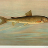 The Rocky Mountain Whitefish, Coregonus williamsoni.