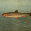 The Rocky Mountain Trout, Salmo mykiss.