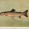 The Kern River Trout, Salmo irideus gilberti.