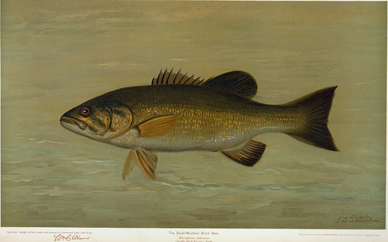 The Small-Mouthed Black Bass, Micropterus dolomieu.
