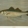The Striped Bass, Roccus lineatus.