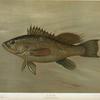 The Sea Bass, Centropristes striatus.