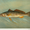 The Weakfish or Squeteague, Cynoscion regale.