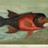 The California Redfish or Fat-head, Pimelometopon pulcher.