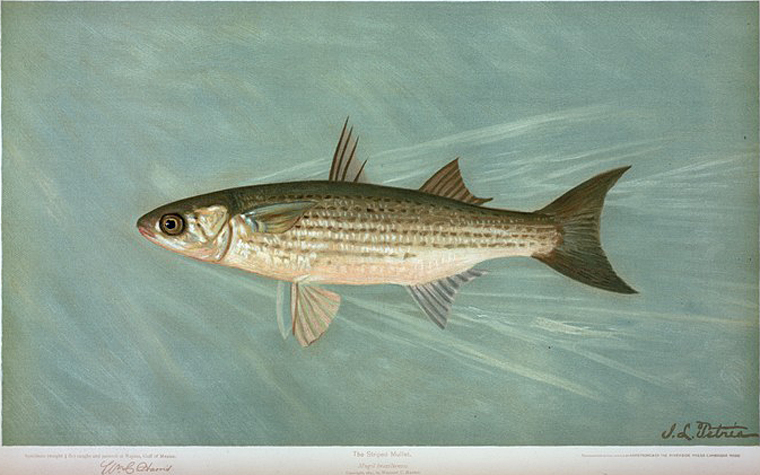The Striped Mullet, Mugil brasiliensis.
