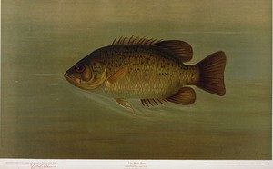 The Rock Bass, Ambloplites rupestris.