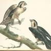 Falco cærulescens.