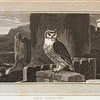 Great Eared Owl.