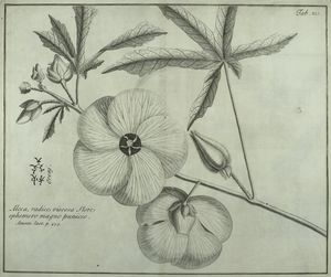 Oreni, a beautiful Alcea, the infusion of the root whereof is of use in the Paper-manufactures of the Japanese.