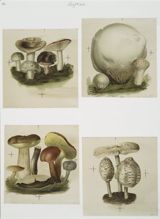 [Prints depicting mushrooms.]