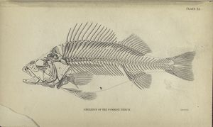 Skeleton of the common perch.