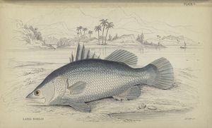 Lates Nobilis (Niloticus?).
