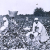 Picking cotton.]