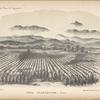 Coca plantation. Peru
