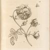 Grosse, hundertblätterichte Rose. Rosa maxima, multiplex: Rosa maxima, multiplex, Pl. 24 (btw. pp. 48 & 49)