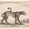 Un léopard marchant vers la droite