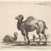 Un chameau allant à gauche