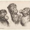 Trois têtes de chameau