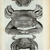 N. Cancer Marinus lævis; O. Cancer Marinus sulcatus; P. Est alia species Cancri Marini lævis, attamen perraro invenitur.