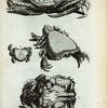 R. Pagurus; S. Cancer Lunaris; T. Cancer Raniformis; V. Est idem ab imo ventre conspiciendus.