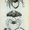 1. Cancer Spinosus; 2. Cancer Spinosus longimanus major; 3. Cancer Spinosus longimanus minor; 4. Cancer Arachnoides; 5. Cancer Floridus.