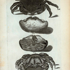 1. Cancer Lanosus; 2. 3. Cancer Calappoides;  4. Cancer Æneus.