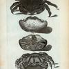 1. Cancer Lanosus; 2. 3. Cancer Calappoides;  4. Cancer Æneus.