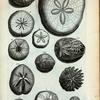 A. Echinus Saxatilis; B. Echimus, qui dicitur Diadema Turcarum; C. Echinus sulcatus primus; D. Echinus sulcatus secundus. Ad hoc genus pertinent: 1. striis marmoreis ditatus; 2. Albus sed parum cinericei coloris; 3. Est altera species; E. Echinus planus; F. Secunda species Echini plani; G. Tertia species; H. Quarta species Echini plani; I. Quinta species Echini plani, vulgo radiati.