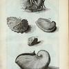 A. Nautilus Tenuis et legitimus. Ovum Polypi; B. Nautilus Tenuis minor;  Fig. 1. Nautilus Tenuis cum Epidromide 2. et  Remis 3. ; Fig. 4. Est altera species Nautili; Fig. 5. Rara species Nautili figuram vittæ rusticæ repræsentans.