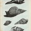 Buccina: A. Buccina Aruanum; B. Buccina Tritonis, seu Turbo Magnus; C.  Buccina Tuberosum;D. Buccina Tuberosum rufum; Fig. 1. Buccinum Tritonis, cui aminal adhue est inclusum, minoris magnitudinis.