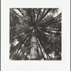 Araucarian Pinus