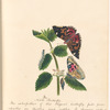 "Watercolor illustration of the nettle butterfly, in various life stages, on the leaves of a plant, with manuscript description, signed ""M.P., 1824"", leaf 7 (recto)"