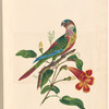 "Watercolor of the scaly-breasted parakeet, signed ""Mary Parker, Sept. 20th 1823"", leaf 12 (recto)"