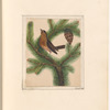 """Mounted watercolor of a brown bird in a pine tree, signed """"Perrott 1924"""", leaf 18 (recto)"""