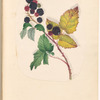 "Mounted watercolor of blackberries on a vine, signed ""C.H.P."", leaf 71 (recto)"