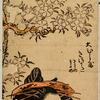 The oiran Kisokata of Ohishiya walking beneath a cherry tree