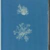 Calothrix confervicola
