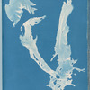 Porphyra vulgaris