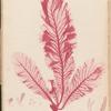 Plate LXVII: Wormskioldia sanguinea, Spreng