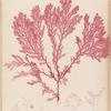 Plate LXVIII: Plocamium coccineum, Lyngb.