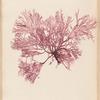 Plate LXX: Rhodymenia palmata, Grev. variety